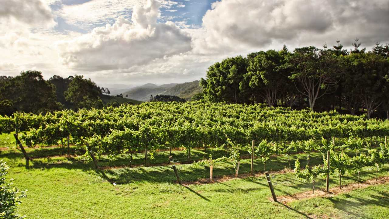 Grape Vines - Flame Hill Vineyard - Montville - Coast to Hinterland Tours